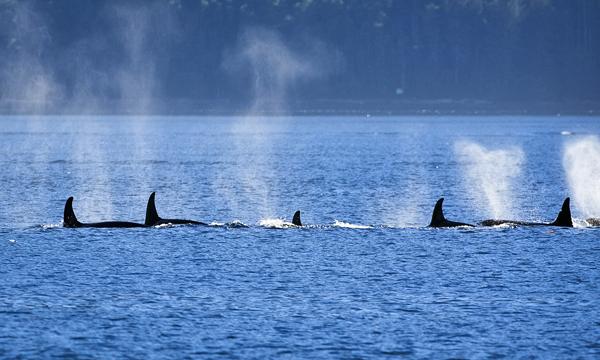 ORCA 091312  Johnstone Strait  6 blog