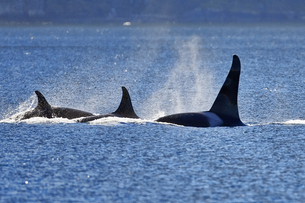 ORCA 091312  Johnstone Strait  2 blog
