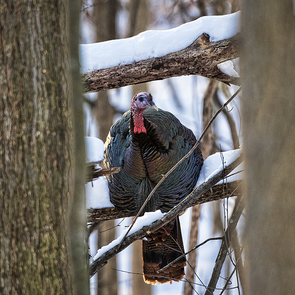 TOM Turkey 123112 Roosted  1b blog