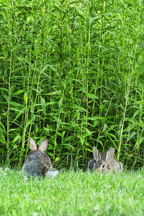 Rabbits POTATO CREEK 070511  1 blog