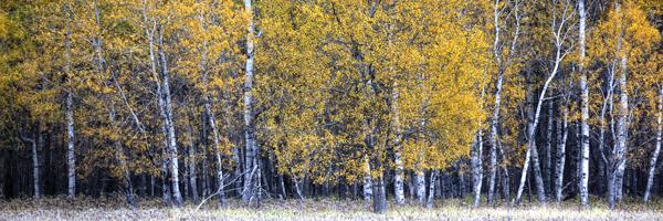 FALL TREES 1 blog