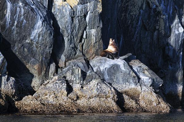 Stellar Sea Lion 091212 Pine Island 1 blog