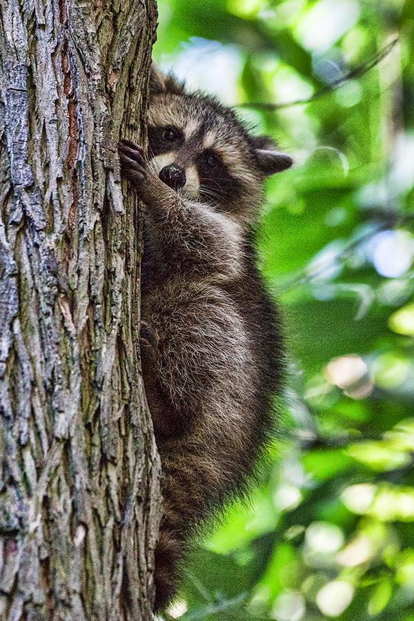 Raccoon baby 032013 Home 1blog