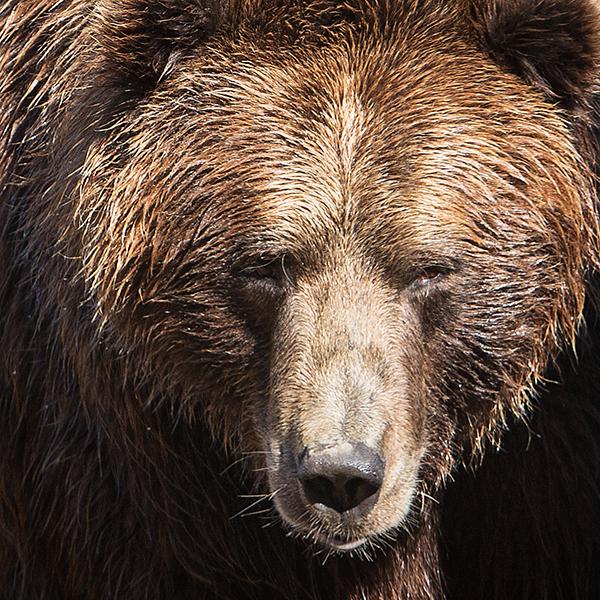 Brown Bear 2 blog