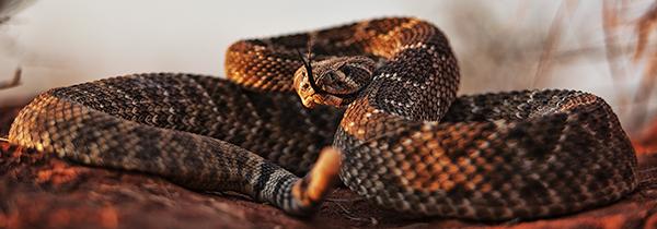 Rattlesnake 101010 TEXAS 9z 1 blog