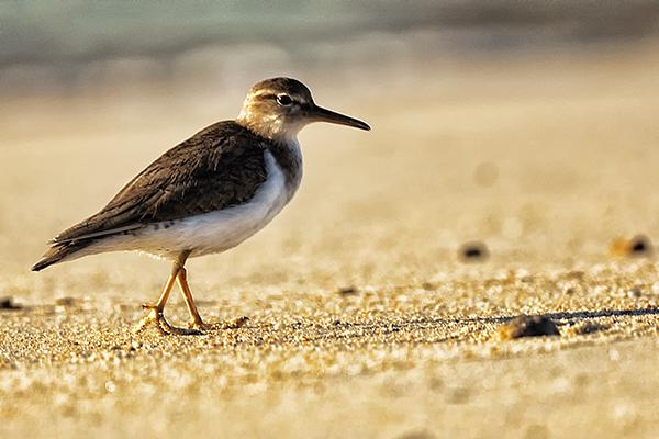 012211 Sand Piper 2 blog