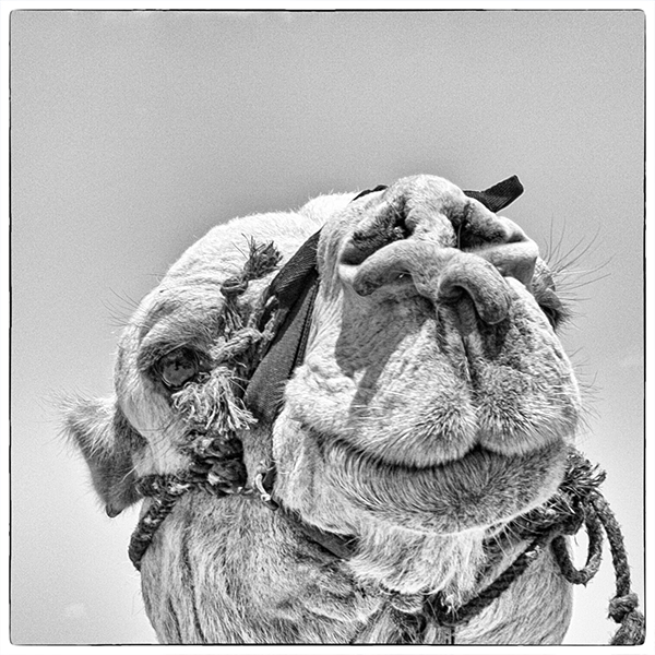 Camel May2014 Jerusalem 1b&w blog