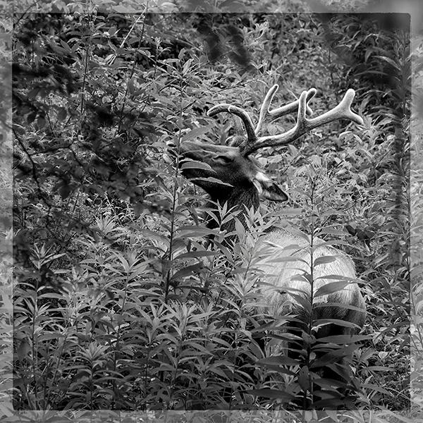 Bull Elk  071914 Smokies  1b b&w blog