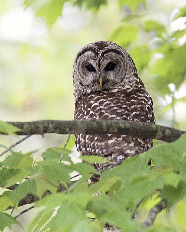 Barred Owl 050210 Strix varia 1zblog
