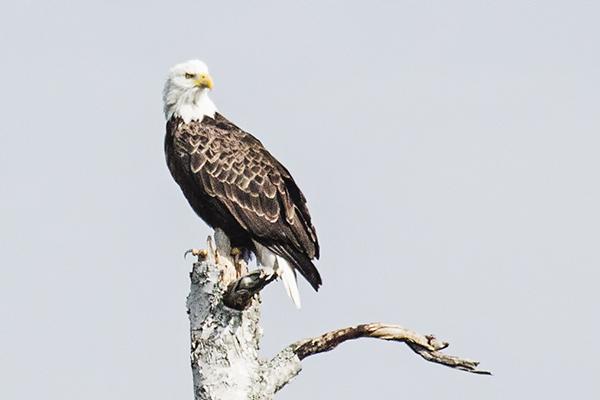 Eagle 081814  2 blog