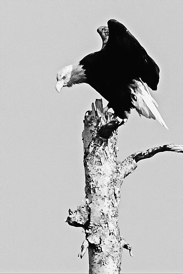 Eagle 081814 WINGS 77B b&w blogz