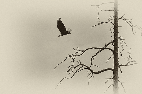Eagle 082114 Northeast Arm 1 b&w blog