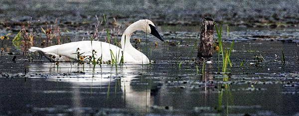 1 Swan 092314 1 blog