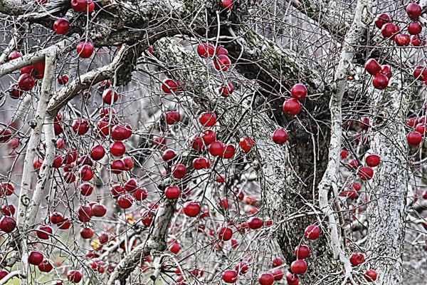 Apples 120609 1c blog