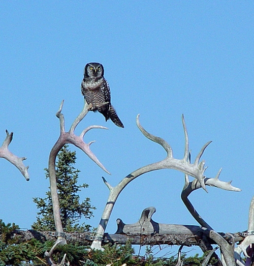 Hawk_owl_in_alaska_rmb_photo