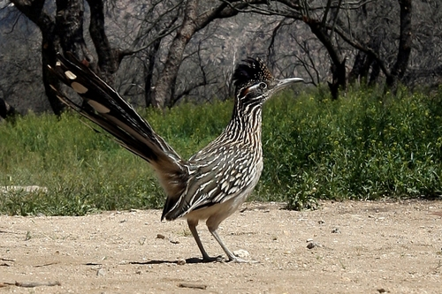 Road_runner_bird_10