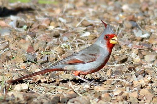 Pyrrhuloxia_cardinalis_sinuatus
