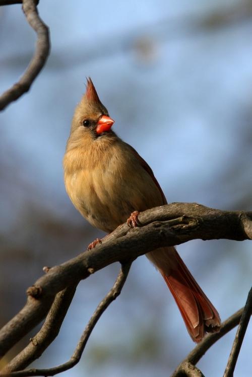 Cardinal_female_blog