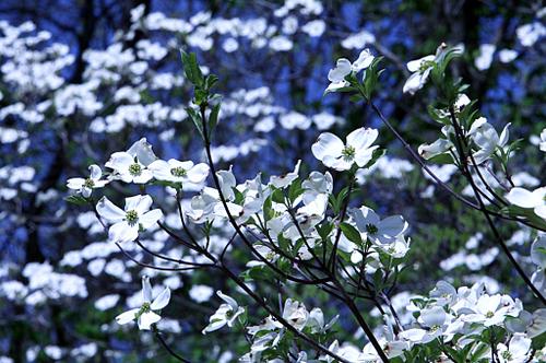 Dogwood_bloom_blog_2