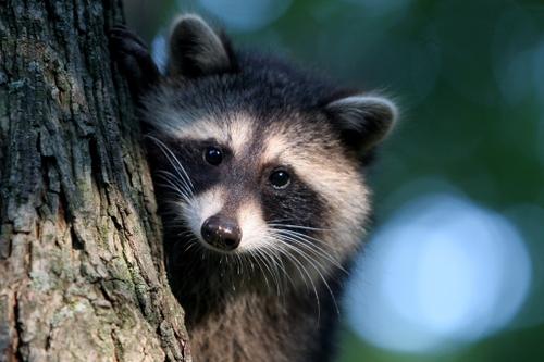 Raccoon_at_home_blog